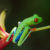 the red-eyed frog